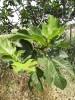 Foglie di Fico, Tisana 70-500g-Tisane depurative