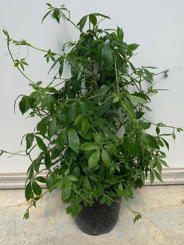 Pianta di Gynostemma pentaphyllum, vaso da 16 cm-Piante della Salute