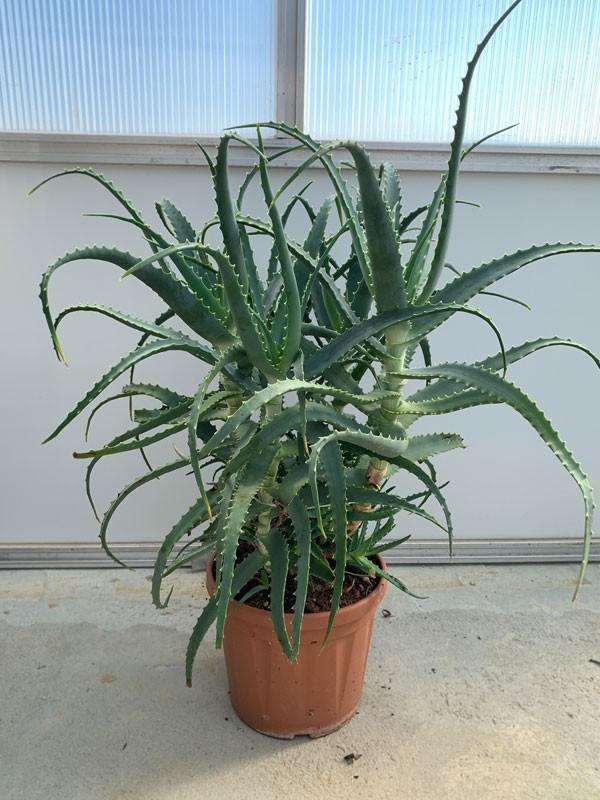 Pianta di Aloe Arborescens di 4 anni-Piante di Aloe