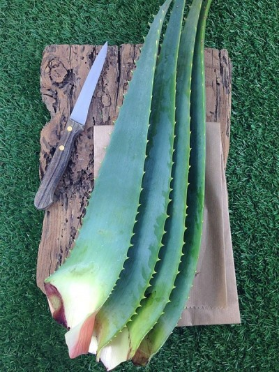 Foglie fresche di Aloe Arborescens a Foglia Grande-Foglie di Aloe