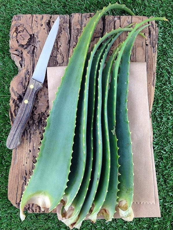 Foglie fresche di Aloe Arborescens Miller-Foglie di Aloe