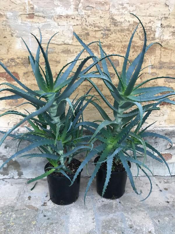 2 Piante di Aloe Arborescens di 4 anni-Piante di Aloe