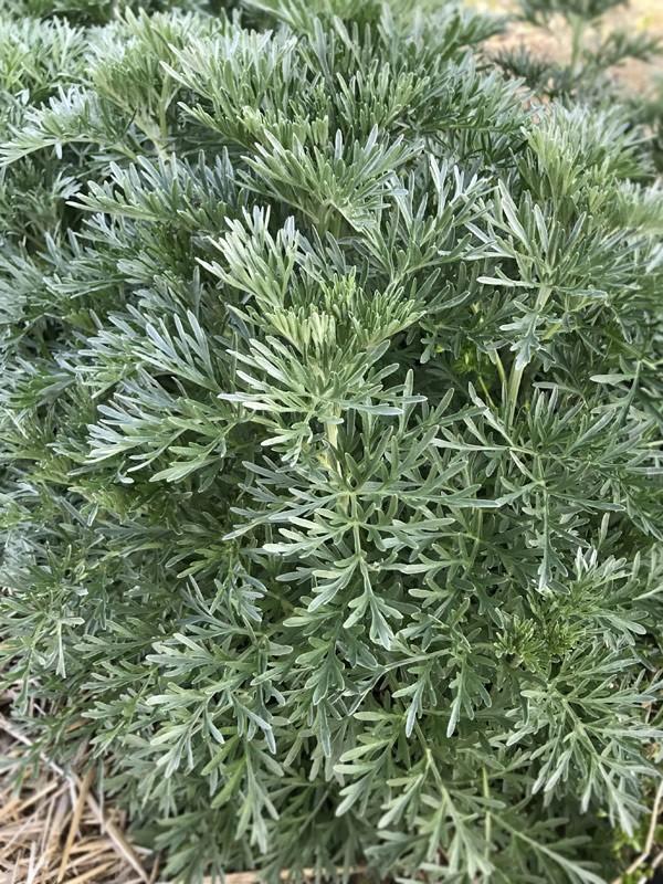 Foglie fresche di Assenzio - Artemisia Absinthium-Foglie fresche