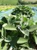 Sage Herbal tea 70g