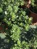 Pianta di Portulaca oleracea-Piante