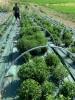 Stevia Rebaudiana, Tisana 50-500g e 1kg-Tisane ed Essiccati