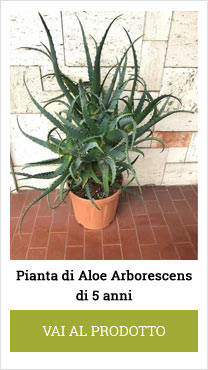 aloe arborescens plants 6 years old