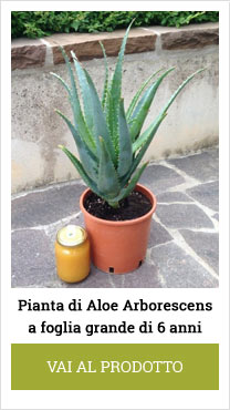 aloe arborescens plant big-leaf