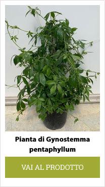 Gynostemma plant