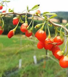 goji berries prices