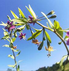 goji plant