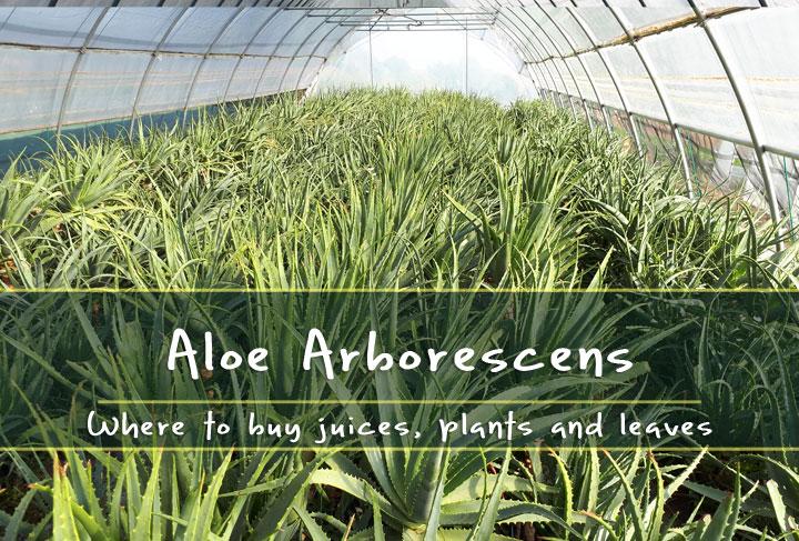 where to buy aloe arborescens