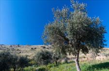 infuso foglie olivo per dimagrire