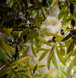 olive leaves decoction