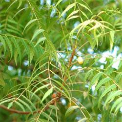 pianta di neem