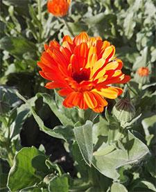 calendula fiori