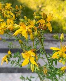 iperico fiori