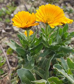 prurito calendula fiori