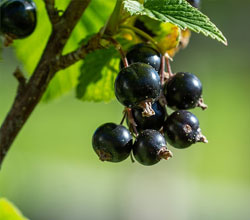 black currant leaves and fruits