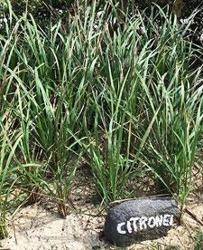 anti-lemongrass mosquito plant