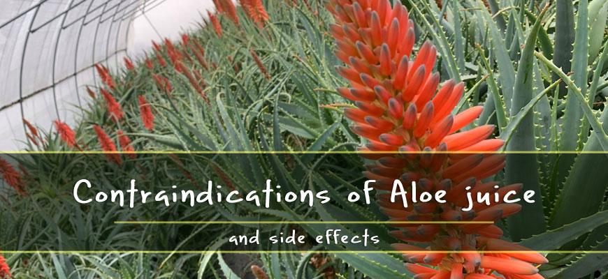 Contraindications Aloe juice